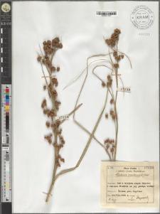 Cladium mariscus (L.) Pohl.