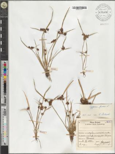 Cyperus fuscus L.