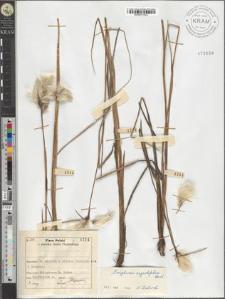 Eriophorum angustifolium Honck.