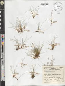 Heleocharis acicularis (L.) Roem. et Schult.