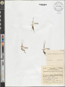 Eleocharis acicularis (L.) R. et Sch.