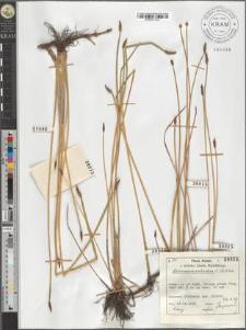 Heleocharis palustris (L.) R. et Sch.