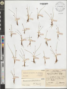 Heleocharis pauciflora (Lightf.) Link