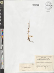 Eleocharis quinqueflora (F.X. Hartmann) O. Schwarz