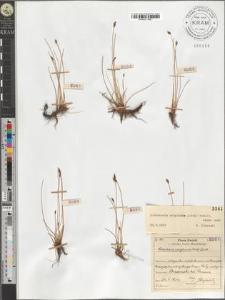 Eleocharis uniglumis sensu lato (Link) Schult.