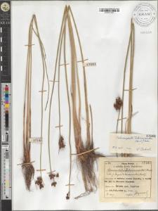 Schoenoplectus Tabernaemontani (Gmel.) Palla
