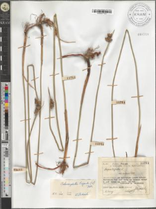Schoenoplectus triqueter (L.) Palla