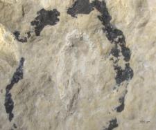 Gastrodorus species