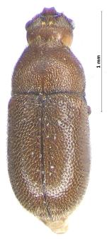 Cis fissicornis Mellié, 1848
