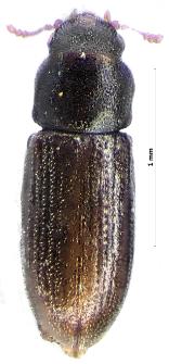 Hadreule elongatula (Gyllenhal, 1827)