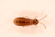 Isotomurus ciliatus