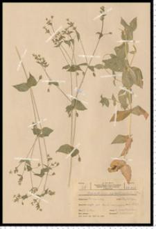 Myosoton aquaticum (L.) Moench