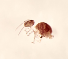 Arrhopalites sp.