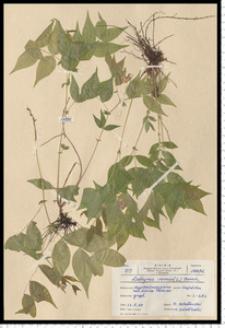Lathyrus vernus (L.) Bernh.