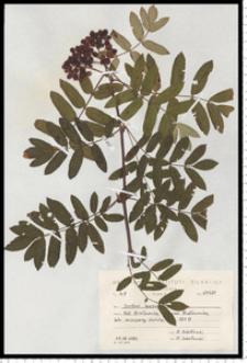 Sorbus aucuparia L. em. Hedl.