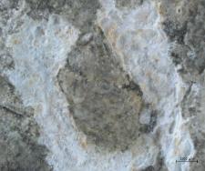 Decapoda (Caridea)