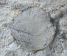 Goniodromites kubai