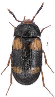 Mycetophagus quadripustulatus (Linnaeus, 1760)