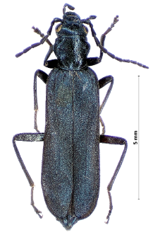 Oedemera virescens (Linnaeus, 1767)