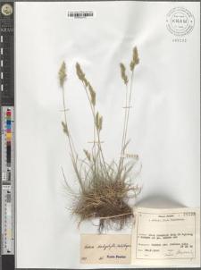 Festuca trachyphylla (Hack.) Krajina