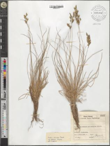 Festuca versicolor Tausch. subsp. dominii Krajina