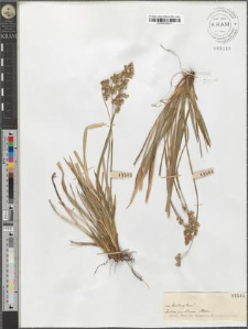 Hierochloe australis (Schrad.) Roem. et Schult.
