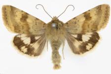 Heliothis viriplaca