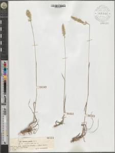Koeleria gracilis Pers.