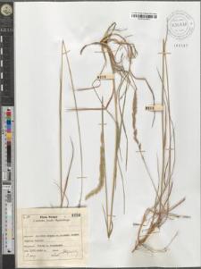 Koeleria pyramidata (Lam.) P. Beauv.