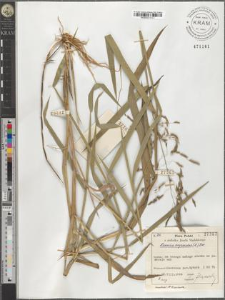 Leersia oryzoides (L.) Sw.