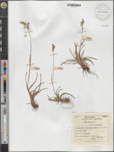 Poa alpina L. monstr. vivipara
