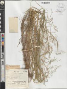 Poa palustris