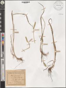 Phleum pratense L. var. nodosum L.