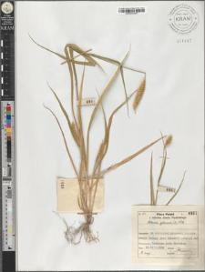 Setaria glauca (L.) P. B.