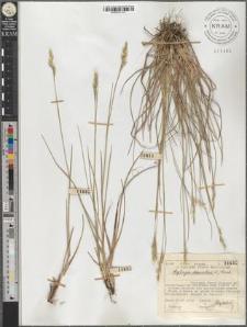 Sieglingia decumbens (L.) Bernh.