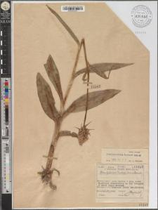 Dactylorhiza fuchsii (Druce) Soó