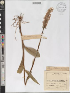 D[actylorchis] Fuchsii (Druce) Vermeul.