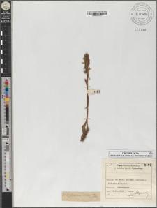 Coeloglossum viride