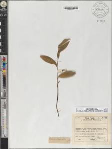 Cephalanthera alba