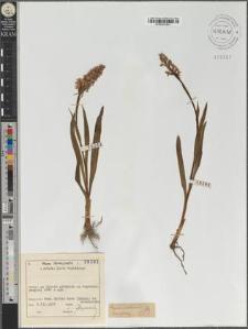 Gymnadenia conopea