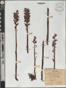 Neottia nidus avis (L.) Rich.