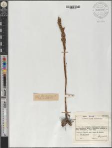 O[rchis] cfr. coriophora var. fragrans