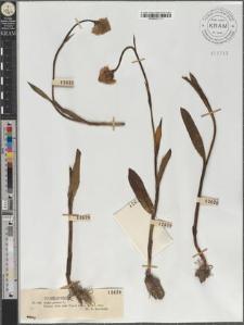 Orchis globosa L.