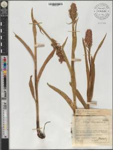 O[rchis] incarnatus var. lanceatus