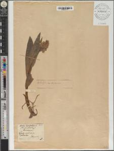 Orchis latifolius L.