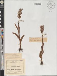 Dactylorhiza majalis (Reichenb.) P.F. Hunt et Summerhayes