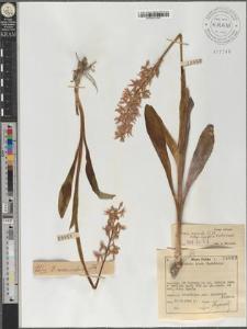 Orchis mascula (L.) L. subsp. signifera (Vest) Soó