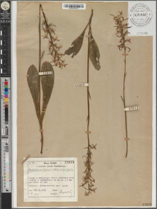 Platanthera bifolia (L.) Rich. subsp. bifolia