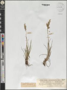Trisetum alpestre P. Beauv.