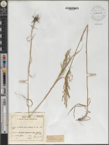 Trisetum flavescens
